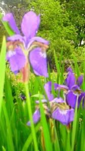 haiku Iris